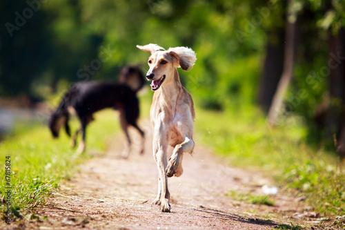 Obraz na płótnie Persian Greyhound dog