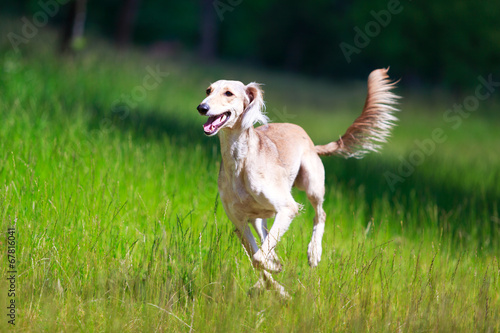Persian Greyhound dog Fototapet