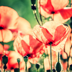 Fototapeta Vintage red poppy