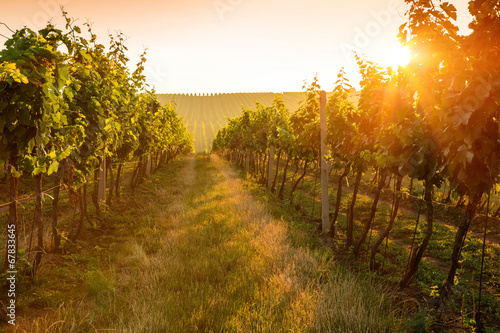 Tuinposter Wijngaard Sunrise over a vineyard