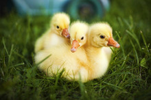 Little Ducklings Exploring The...