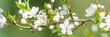 Leinwandbild Motiv kirschblütenzweig als banner