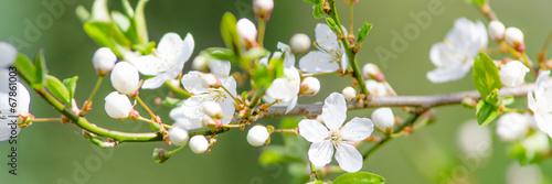 galaz-kwiat-wisni-jako-sztandar