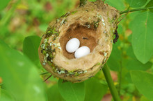 Hummingbird Nest With Egg