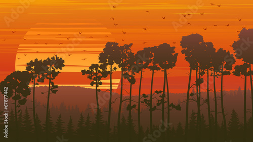 wild-coniferous-wood-at-sunset