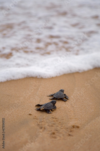 Fotografie, Obraz  Baby turtles making it's way to the ocean