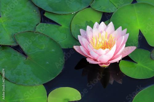 Poster de jardin Nénuphars water lily flower