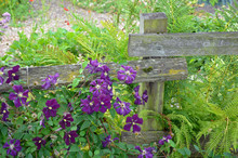 Purple Clematis Flowers And Ferns