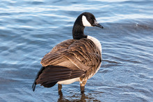 Canada Goose Standing In Shallow Water.