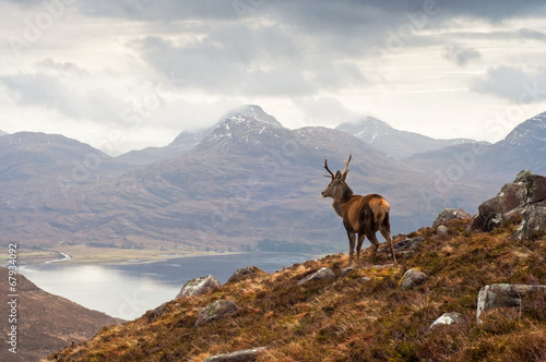 Fototapeta Wild stag, Scottish highlands obraz