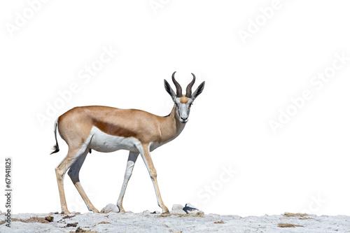 Foto op Aluminium Antilope Springbok