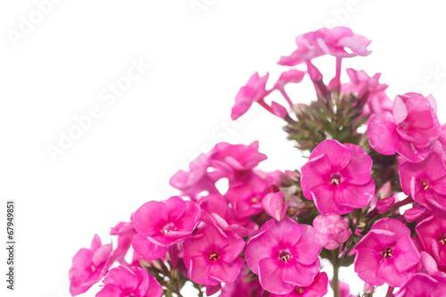 Foto op Canvas Hydrangea hydrangea
