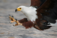 African Fish Eagle With Fish A...