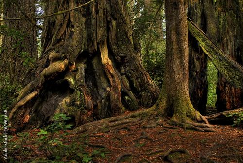 Papiers peints Noir Redwood Trees 0214