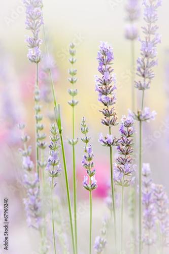 kwiatowe-tlo-z-fioletowymi-lawendami