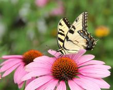 Butterfly On Purple Coneflower