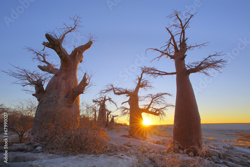 Spoed Foto op Canvas Baobab Baobabs on Kubu Island at sunset