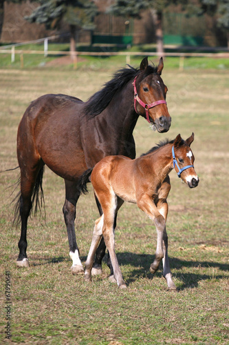 Mare and foal galloping together in pastureland Poster