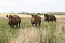 Three White Rhino's
