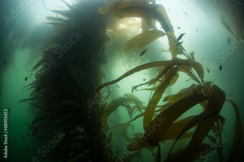 Fotobehang Koraalriffen Kelp Growth