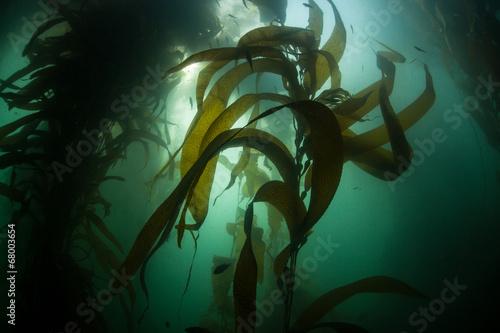 Fotobehang Koraalriffen Forest of Giant Kelp