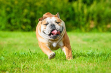English Bulldog Running