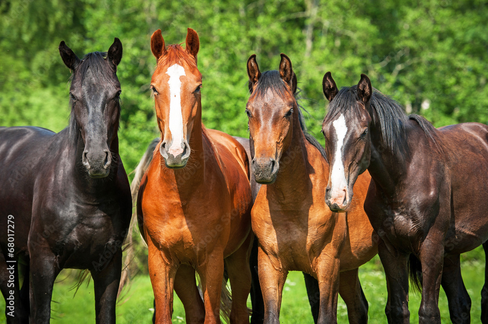 Fototapety, obrazy: Group of young horses on the pasture