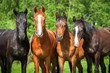 Group of young horses on the pasture