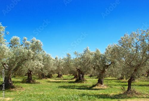 Tuinposter Olijfboom Olive grove, Abruzzo, Italy