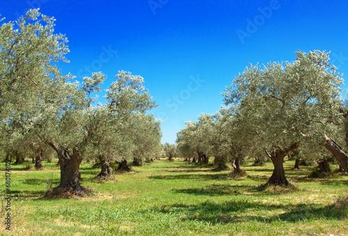 Carta da parati Olive grove, Abruzzo, Italy