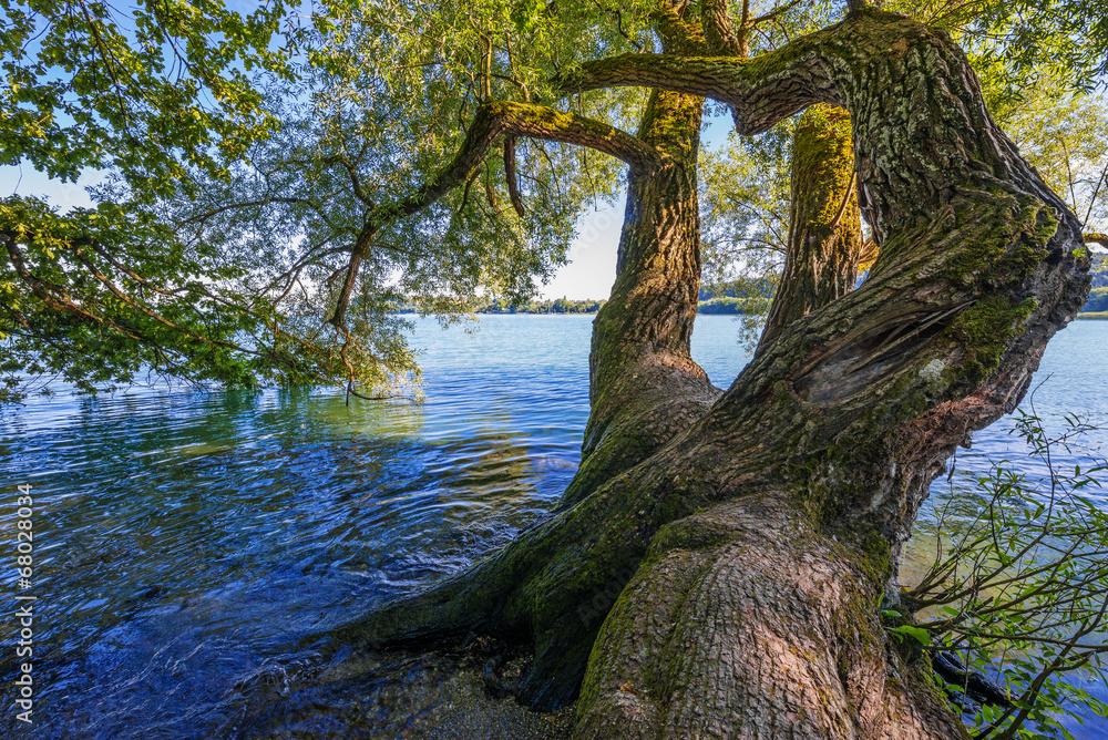 old tree and lake