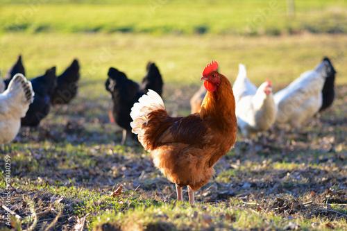La pose en embrasure Poules coq et poules à la ferme en plein air