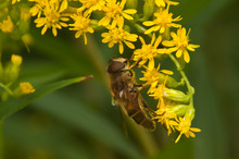 Bee Collecting Pollen From Yel...