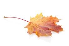Colorful Autumn Maple Leaf