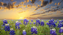 Bluebonnets In The Texas Hill ...
