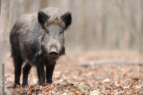 Cuadros en Lienzo Wild boar
