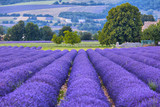 Fototapeta Flowers - Lavander fields in Provence