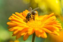 Bee On Marigold