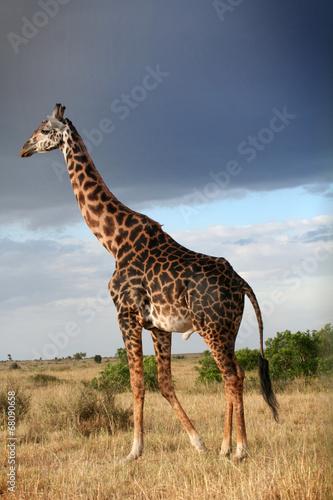 Photo  Girafe mâle qui parade