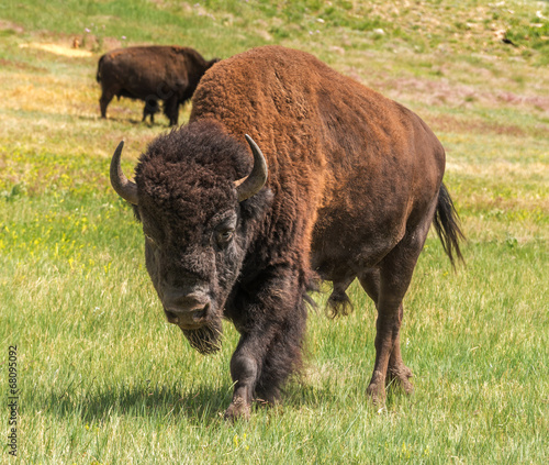 Endangered wildlife animal species American bison buffalo