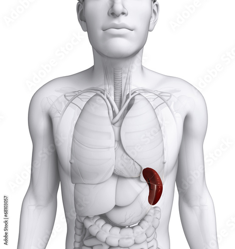 Male spleen anatomy - Buy this stock illustration and explore ...