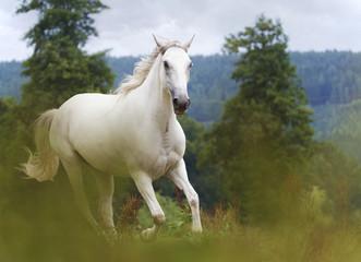 Obraz na Szkle Koń beautiful lipizzaner horse running in nature