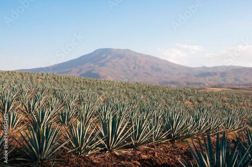 Fotografie, Obraz  Campo de agáve en Tequila, Jalisco (Mexiko)