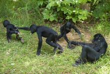 Singes Bonobos