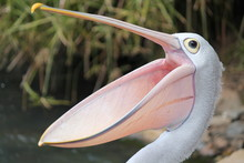 Happy Pelican