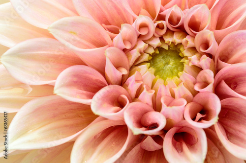 Poster de jardin Dahlia Close-up Pink dahlia in bloom