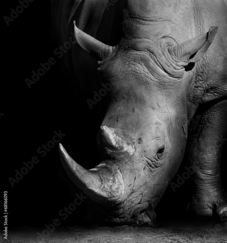 Photo sur Toile Rhino Rhino in Black and White