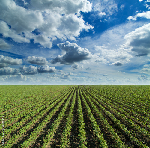 Canvas Prints Culture Soybean field growing over blue sky with nice clouds