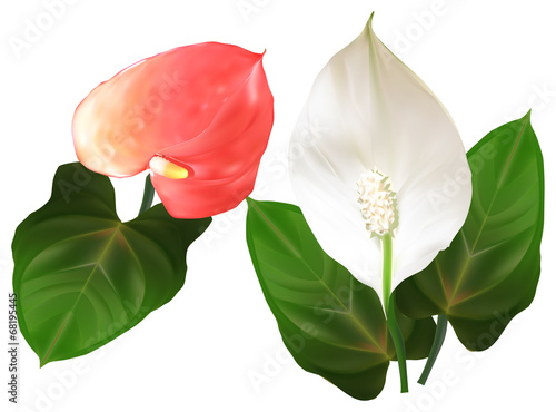 Photo anthurium red and white flowers illustration
