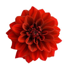 Red Dahlia Isolated On White B...